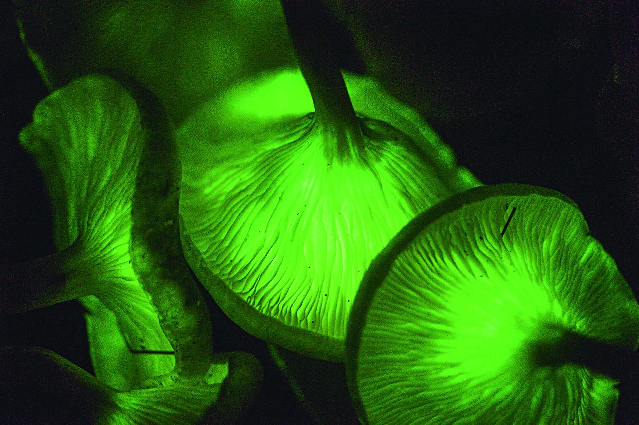Bioluminescent mushrooms (of the genus Omphalotus).