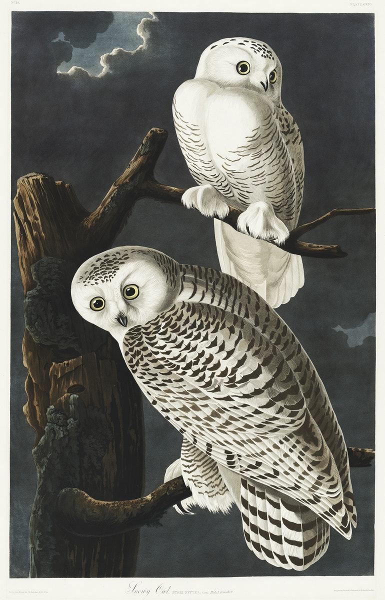 Snowy Owl from Birds of America (1827) by John James Audubon, etched by William Home Lizars