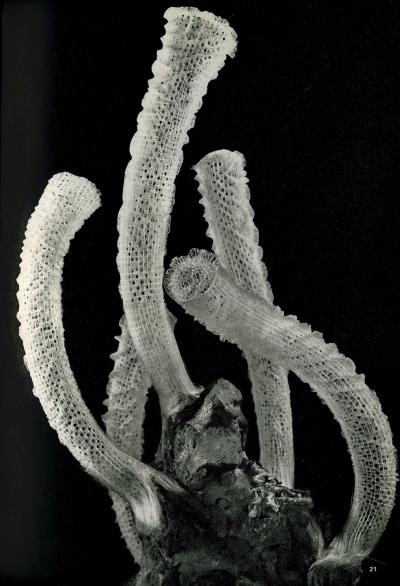 Venus's Flower Basket (Euplectella aspergillum)