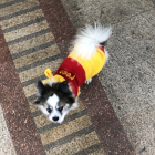 Lapdog dressed at Winnie the Pooh