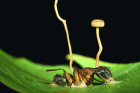 Some fungi infect insects and puppet their behaviour, overriding their instincts and forcing them to climb up high. The fungus then grows through the insect's body and a fruiting body sprouts out of the insect from which spores rain down on unfortunate insects passing below. This image shows a carpenter ant infected with Ophiocordyceps lloydii. Two fungal fruiting bodies sprout from the body of the ant. Sample collected in the Brazilian Amazon.