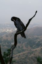 Lynchian Raven in June Gloom, Los Angeles, 2019