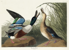 Shoveler Duck from Birds of America (1827) by John James Audubon, etched by William Home Lizars